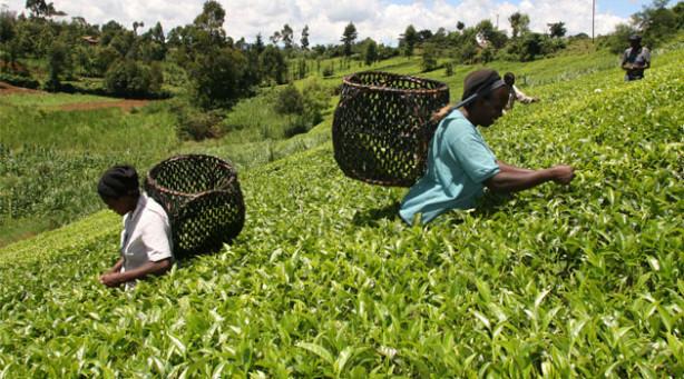 Tea Farm Tea Farmers