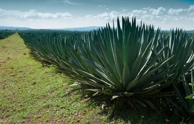 Sisal plantation