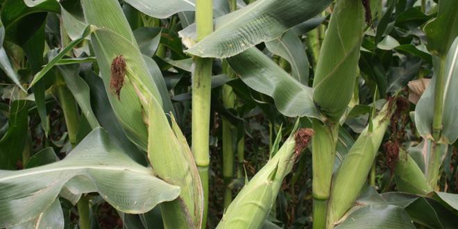 Maize-660x330